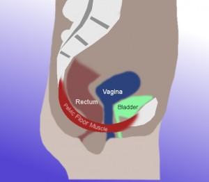 Diagram of pelvic area